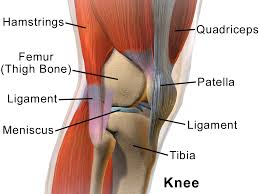 (Learn more about how many different muscles directly or indirectly affect knee anatomy on Wikipedia).